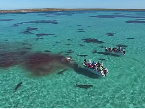 ¡Increíble! Turistas captan el ataque de 70 tiburones a una ballena [VIDEO]